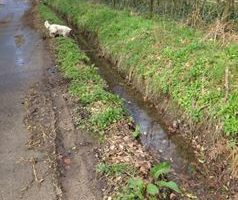 hedgerow along road with muddy ditchwater, with a small white dog looking into the ditch