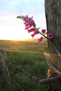 Close up of foxglove tied to post, fence and field in background, sun setting