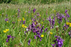 Yellow and purple-blue wildlfowers in verge
