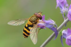 Hoverfly on flower Copyright Tim Worfolk