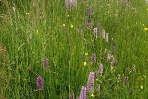Wildlfower verge with lilac colour orchids, yellow flowers and tall white flowering shrub