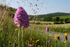 Purple colour Pyramidal orchid in flower filled verge, road in background