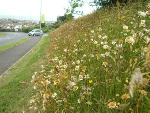 View along a road with oxeye daisy and marigolds on sloping grass bank