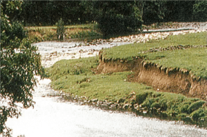 Development of vegetation on a bank which is stabilising through allowed natural adjustment