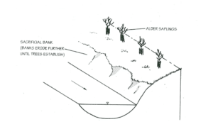 Schematic diagram of a bank stabilised using young trees (Source: EA, 1999, p.145)