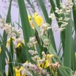 Yellow Flag Iris by Bill Elliott