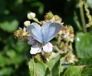 Powder Blue Butterfly by Hazel Morrell