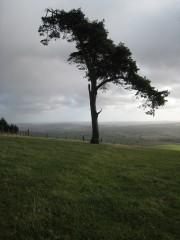 Scots pine on Raddon Clump