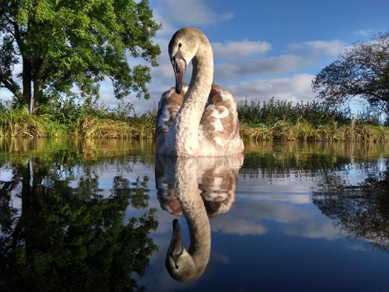 a young swan floating on the canal