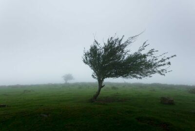 A tree on open moorland being blown by strong winds