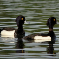 "Tufted Duck • <a style=""font-size:0.8em;"" href=""http://www.flickr.com/photos/27734467@N04/25981254040/"" target=""_blank"">View on Flickr</a>"