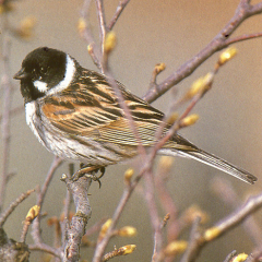 "Reed Bunting • <a style=""font-size:0.8em;"" href=""http://www.flickr.com/photos/27734467@N04/25651428653/"" target=""_blank"">View on Flickr</a>"