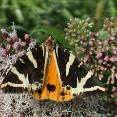 """Jersey Tiger • <a style=""""font-size:0.8em;"""" href=""""http://www.flickr.com/photos/27734467@N04/26654679865/"""" target=""""_blank"""">View on Flickr</a>"""