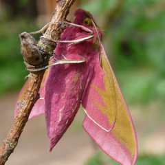 "Elephant hawk moth • <a style=""font-size:0.8em;"" href=""http://www.flickr.com/photos/27734467@N04/26381234470/"" target=""_blank"">View on Flickr</a>"