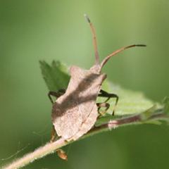 "Squash Bug (Coreus marginatus) • <a style=""font-size:0.8em;"" href=""http://www.flickr.com/photos/27734467@N04/26194902342/"" target=""_blank"">View on Flickr</a>"