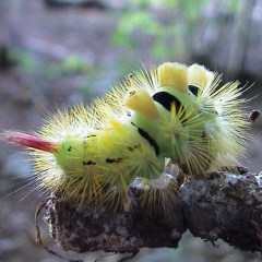"""Pale Tussock Larva • <a style=""""font-size:0.8em;"""" href=""""http://www.flickr.com/photos/27734467@N04/26381234310/"""" target=""""_blank"""">View on Flickr</a>"""