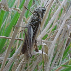 """Field grasshopper • <a style=""""font-size:0.8em;"""" href=""""http://www.flickr.com/photos/27734467@N04/26561495922/"""" target=""""_blank"""">View on Flickr</a>"""