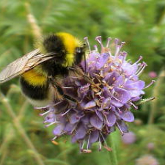"""White tailed bumble bee • <a style=""""font-size:0.8em;"""" href=""""http://www.flickr.com/photos/27734467@N04/26561495862/"""" target=""""_blank"""">View on Flickr</a>"""