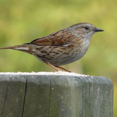 "Dunnock • <a style=""font-size:0.8em;"" href=""http://www.flickr.com/photos/27734467@N04/24585242603/"" target=""_blank"">View on Flickr</a>"
