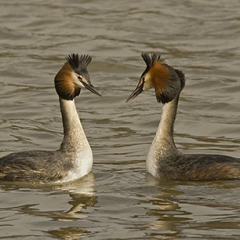 "Great Crested Grebe by Ron Champion • <a style=""font-size:0.8em;"" href=""http://www.flickr.com/photos/27734467@N04/25185759336/"" target=""_blank"">View on Flickr</a>"