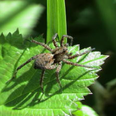 """Wolf spider • <a style=""""font-size:0.8em;"""" href=""""http://www.flickr.com/photos/27734467@N04/26561495812/"""" target=""""_blank"""">View on Flickr</a>"""