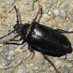 """Tanner Beetle Prionus • <a style=""""font-size:0.8em;"""" href=""""http://www.flickr.com/photos/27734467@N04/25684604063/"""" target=""""_blank"""">View on Flickr</a>"""