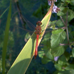 """Ruddy Darter • <a style=""""font-size:0.8em;"""" href=""""http://www.flickr.com/photos/27734467@N04/26179744502/"""" target=""""_blank"""">View on Flickr</a>"""