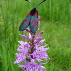 "6 Spot Burnet • <a style=""font-size:0.8em;"" href=""http://www.flickr.com/photos/27734467@N04/26589032151/"" target=""_blank"">View on Flickr</a>"