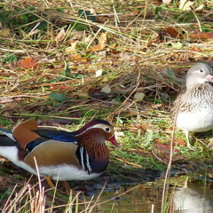 "Mandarin Ducks • <a style=""font-size:0.8em;"" href=""http://www.flickr.com/photos/27734467@N04/24916442130/"" target=""_blank"">View on Flickr</a>"