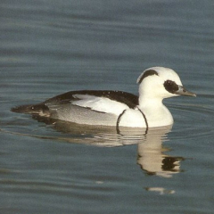 "Smew • <a style=""font-size:0.8em;"" href=""http://www.flickr.com/photos/27734467@N04/26228174436/"" target=""_blank"">View on Flickr</a>"