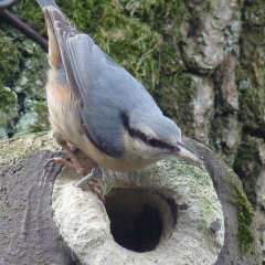 "Nuthatch • <a style=""font-size:0.8em;"" href=""http://www.flickr.com/photos/27734467@N04/25185759116/"" target=""_blank"">View on Flickr</a>"