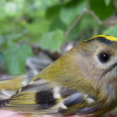 "Goldcrest • <a style=""font-size:0.8em;"" href=""http://www.flickr.com/photos/27734467@N04/24916442340/"" target=""_blank"">View on Flickr</a>"
