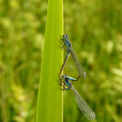 "Blue Tailed Damselfly Mating • <a style=""font-size:0.8em;"" href=""http://www.flickr.com/photos/27734467@N04/26179745662/"" target=""_blank"">View on Flickr</a>"