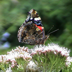 "Red Admiral • <a style=""font-size:0.8em;"" href=""http://www.flickr.com/photos/27734467@N04/25668365963/"" target=""_blank"">View on Flickr</a>"