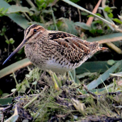 "Common Snipe • <a style=""font-size:0.8em;"" href=""http://www.flickr.com/photos/27734467@N04/25185759636/"" target=""_blank"">View on Flickr</a>"