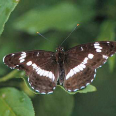 "White Admiral • <a style=""font-size:0.8em;"" href=""http://www.flickr.com/photos/27734467@N04/26271091845/"" target=""_blank"">View on Flickr</a>"