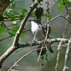 """Pied Flycatcher by Jim Bevan • <a style=""""font-size:0.8em;"""" href=""""http://www.flickr.com/photos/27734467@N04/27467417454/"""" target=""""_blank"""">View on Flickr</a>"""