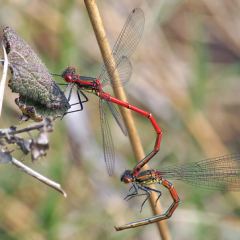 """Large Red Damselflies by Steve McElhinney • <a style=""""font-size:0.8em;"""" href=""""http://www.flickr.com/photos/27734467@N04/28003774691/"""" target=""""_blank"""">View on Flickr</a>"""
