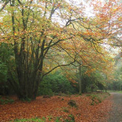 """Beech on Carriage Drive • <a style=""""font-size:0.8em;"""" href=""""http://www.flickr.com/photos/27734467@N04/26187568414/"""" target=""""_blank"""">View on Flickr</a>"""