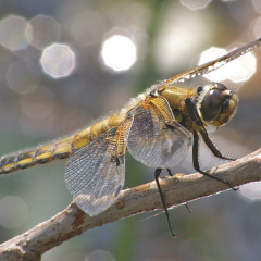 """Four Spotted Chaser by Steve McElhinney • <a style=""""font-size:0.8em;"""" href=""""http://www.flickr.com/photos/27734467@N04/28047328416/"""" target=""""_blank"""">View on Flickr</a>"""