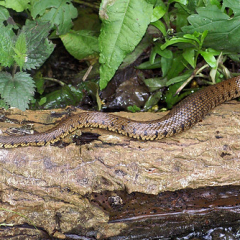 """Grass Snake by Steve McElhinney • <a style=""""font-size:0.8em;"""" href=""""http://www.flickr.com/photos/27734467@N04/27978821232/"""" target=""""_blank"""">View on Flickr</a>"""