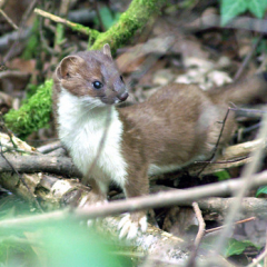 """Stoat by Steve McElhinney • <a style=""""font-size:0.8em;"""" href=""""http://www.flickr.com/photos/27734467@N04/27466695053/"""" target=""""_blank"""">View on Flickr</a>"""