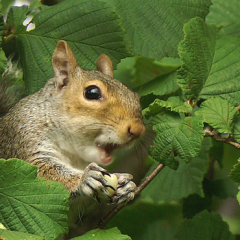 """Squirrel eating hazelnuts by Steve McElhinney • <a style=""""font-size:0.8em;"""" href=""""http://www.flickr.com/photos/27734467@N04/28003774401/"""" target=""""_blank"""">View on Flickr</a>"""