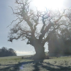 """Veteran Oak on the Heritage Trail - Templer Way • <a style=""""font-size:0.8em;"""" href=""""http://www.flickr.com/photos/27734467@N04/26725773571/"""" target=""""_blank"""">View on Flickr</a>"""