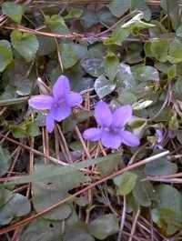 Dog violet wild flower