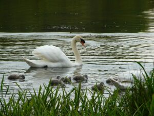 Swans with 8 cygnets