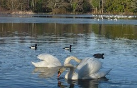 Swans on Stover Lake