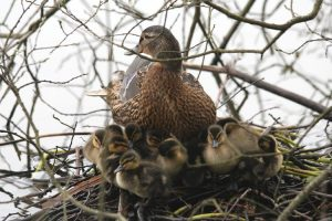 Duck on nest with ducklings