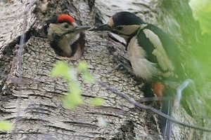 Greater spotted woodpecker adult and young