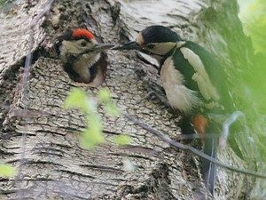 Greater Spotted woodpecker feeding its young at the nest hole